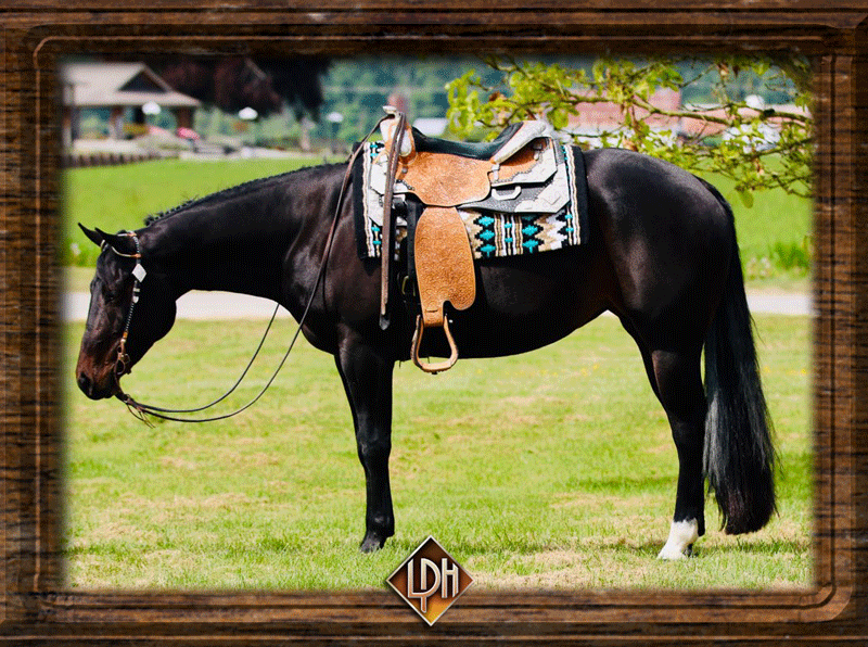2013 aqha western pleasure show mare for sale1