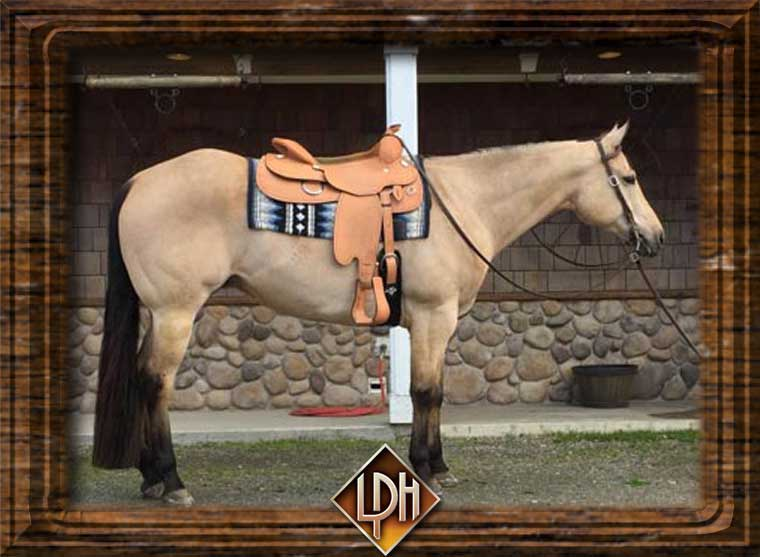 Buckley Dun N Gold AQHA All Around Gelding For Sale